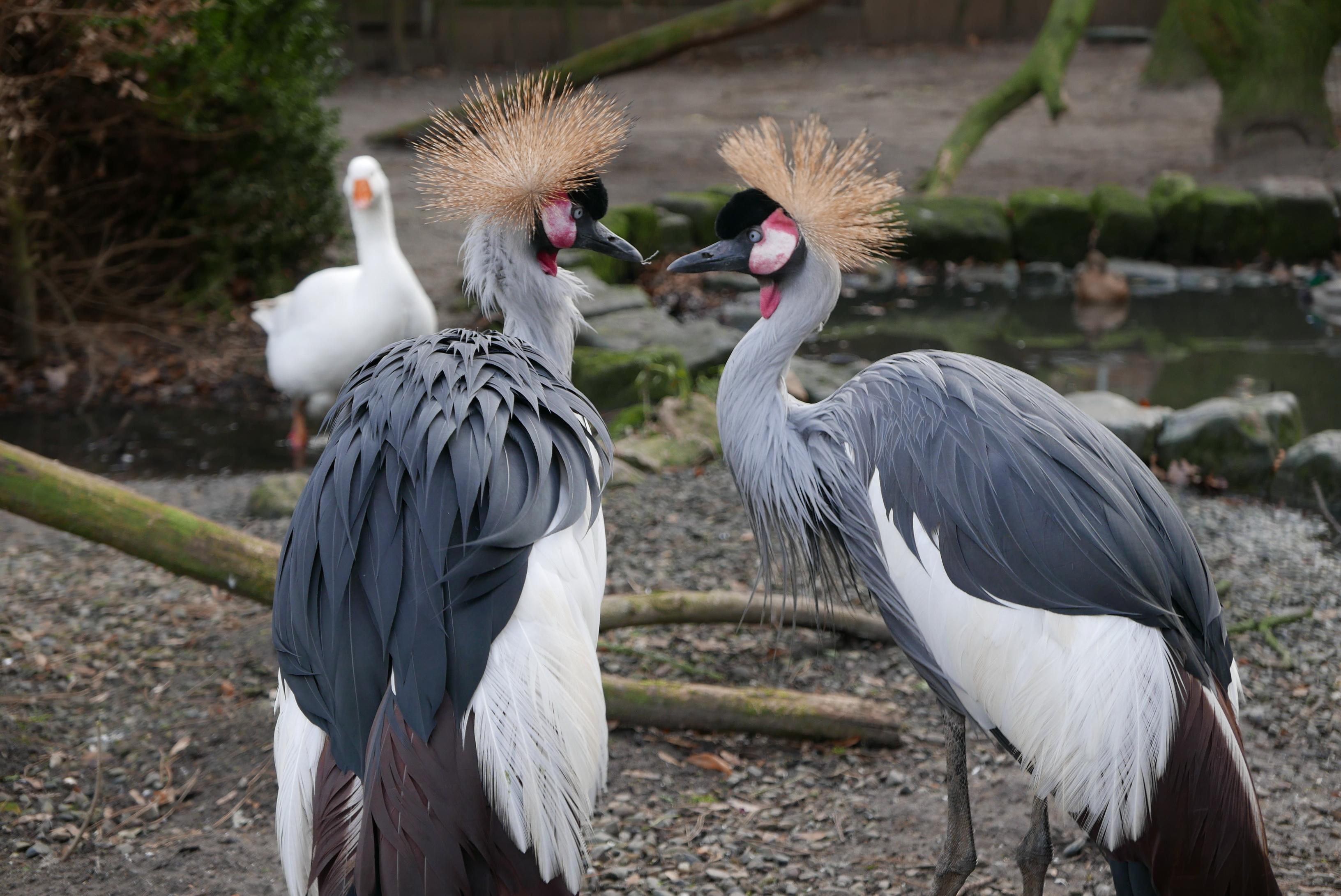 Kronenkraniche im Tierpark Halberstadt